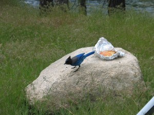 Steller's Jay Feasting On A Hamburger - Yosemite